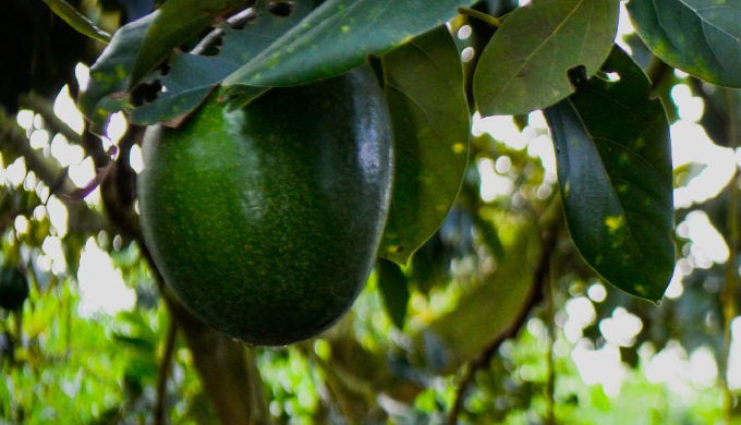 The avocado is an exquisite fruit with buttery consistency and a rich, nutty flavour. It's often eat...