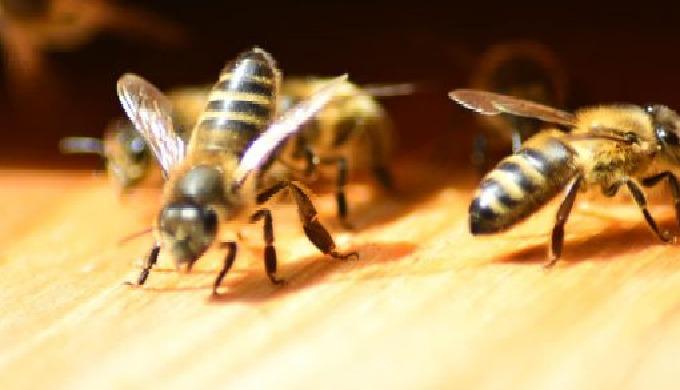 ATTENTION : ces hyménoptères ne sont pas considérés comme des nuisibles. Indispensables à l'environn...