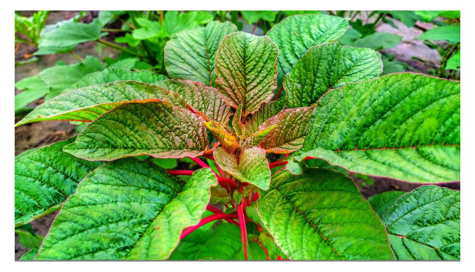 Amaranth: A Crop With A History