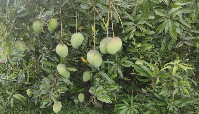 Welcome to Fresh Mangoes, your friendly neighbourhood greengrocer in Chennai, Tamil Nadu India. We s...