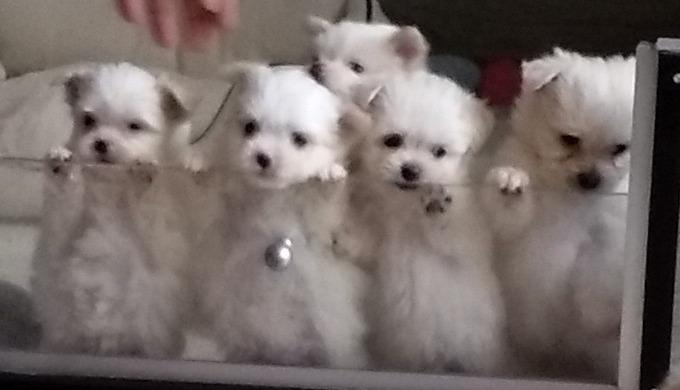 Wij hebben 2 afkeer per jaar mooie Maltipom puppy's, Maltezer puppy's of Pomeriaan puppy's die in hu...