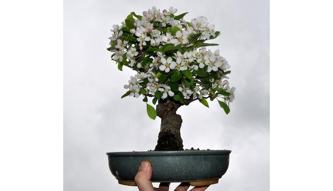 Les Bonzaï pommiers font partie des espèces qui possèdent les fleurs les plus intéressantes. Très od...