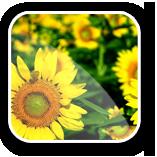 Seminţe de floarea soarelui. Hibrizii de floarea soarelui