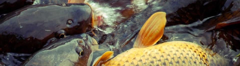 Prodej živých sladkovodních ryb
