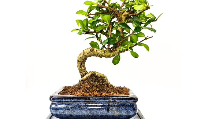 Our indoor bonsai trees are extremely popular, and make great statement pieces in the home or in the...