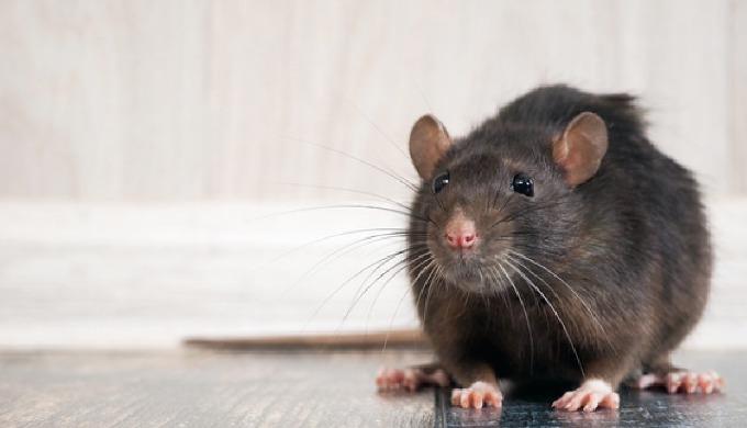 Rats / Souris / Loirs / Mulots Selon l'environnement et les constations que nous effectuons sur le t...
