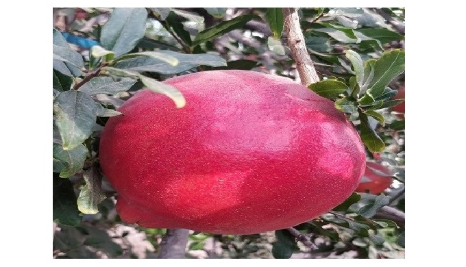 Pomegranate from our farm; grown as per Europian Residue Limit standerds.