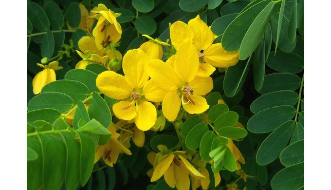 Extroil Naturals industries, you can buy senna leaf Extract(Calcium Sennosides) powder from the best...