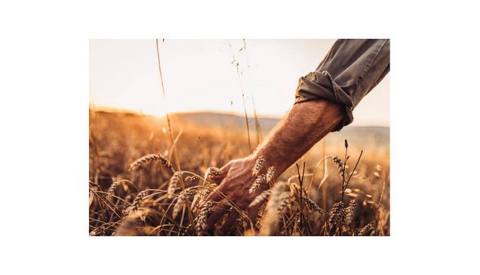 Зерна ячменя - состав, польза, классификация
