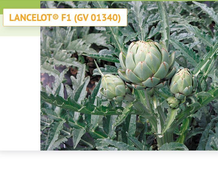 Artichaut LANCELOT® F1 (GV 01340)