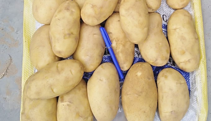 Egyptian Spunta Potatoes A class Available in packaging of 10kg and 25kg