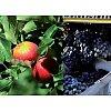 Fruits, légumes et baies
