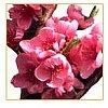 Encore un fruit de la famille des Rosacées, qui appartient au genre botanique Prunus persica et est ...